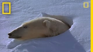 (3.37 MB) Polar Bear Mom and Cubs | National Geographic Mp3