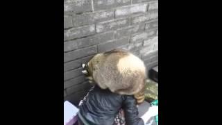 太り過ぎたアライグマが一生懸命ドアを開けようとします♪
