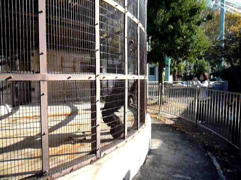 東山動植物園のフクロテナガザル