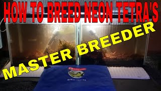 HOW TO BREED NEON TETRAS PART 1