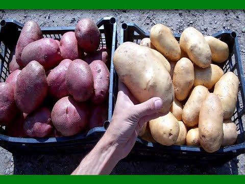 Секреты выращивания крупного картофеля от высадки до сбора урожая Ведро картофеля с куста