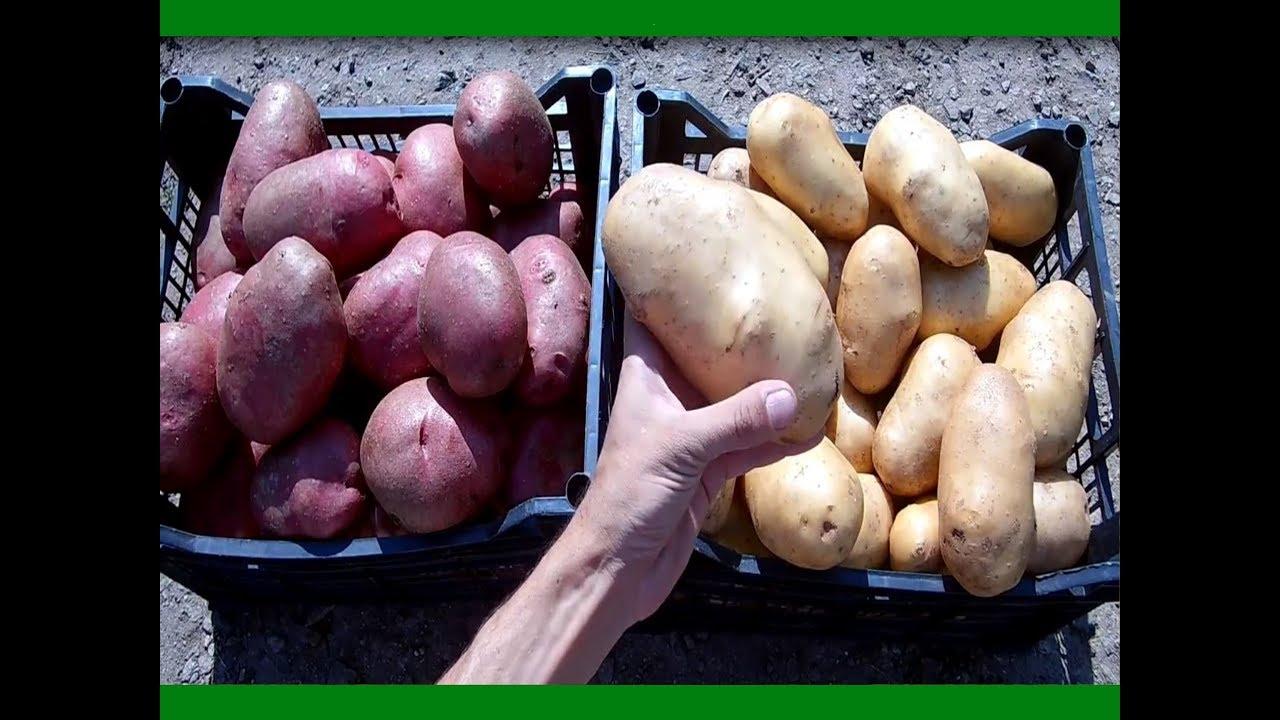 Органическое земледелие как сажать картофель 48