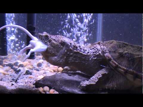 snapping turtle eating mouse youtube