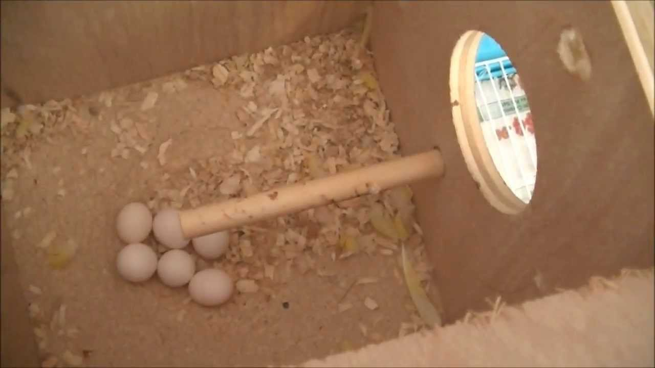 Budgie Nesting Box Size How to Clean Budgie Nest Box '