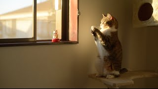 Taro the Cat to Imitate Beckoning Cat  招き猫の真似をする猫のたろちゃん。