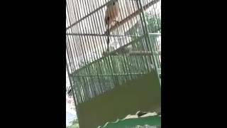 suara terapi burung cendet macet   wapwon com 3gp mp4 hd