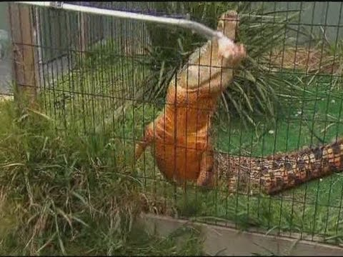 Crocodile turns orange down under