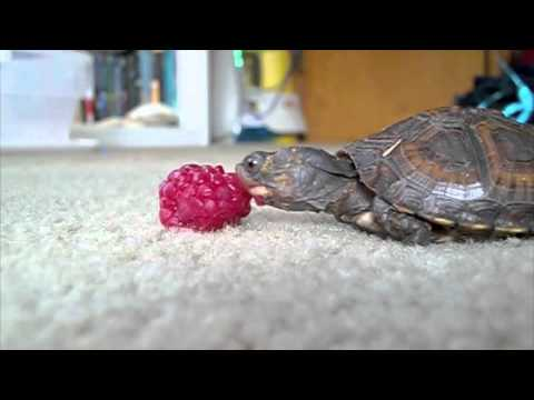Baby Turtle Eating a Raspberry