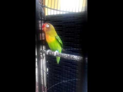 LOVEBIRD PAUD NGEKEK PANJANG ring ABS 001