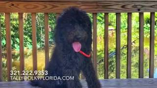 """5 Month Old Doodle """"Ace"""" 