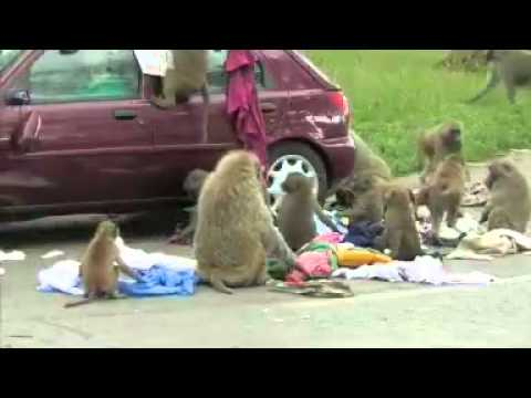 Monkeys Attack Car And Steal Luggage Off The Roof Youtube