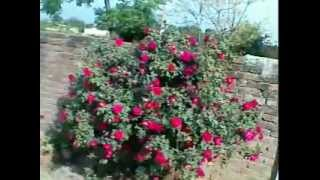 A Lots Of Roses.flv