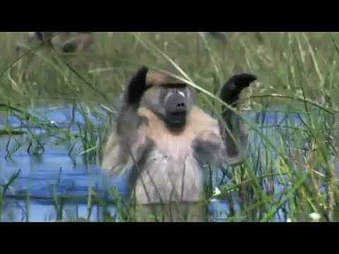 Monkeys Wading Through Water - Planet Earth - BBC