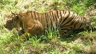 Killer Tigers of India - National Geographic Documentary