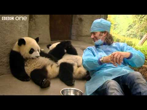 Martin Meets the Panda Cubs - Nature's Miracle Babies - Episode One - BBC One
