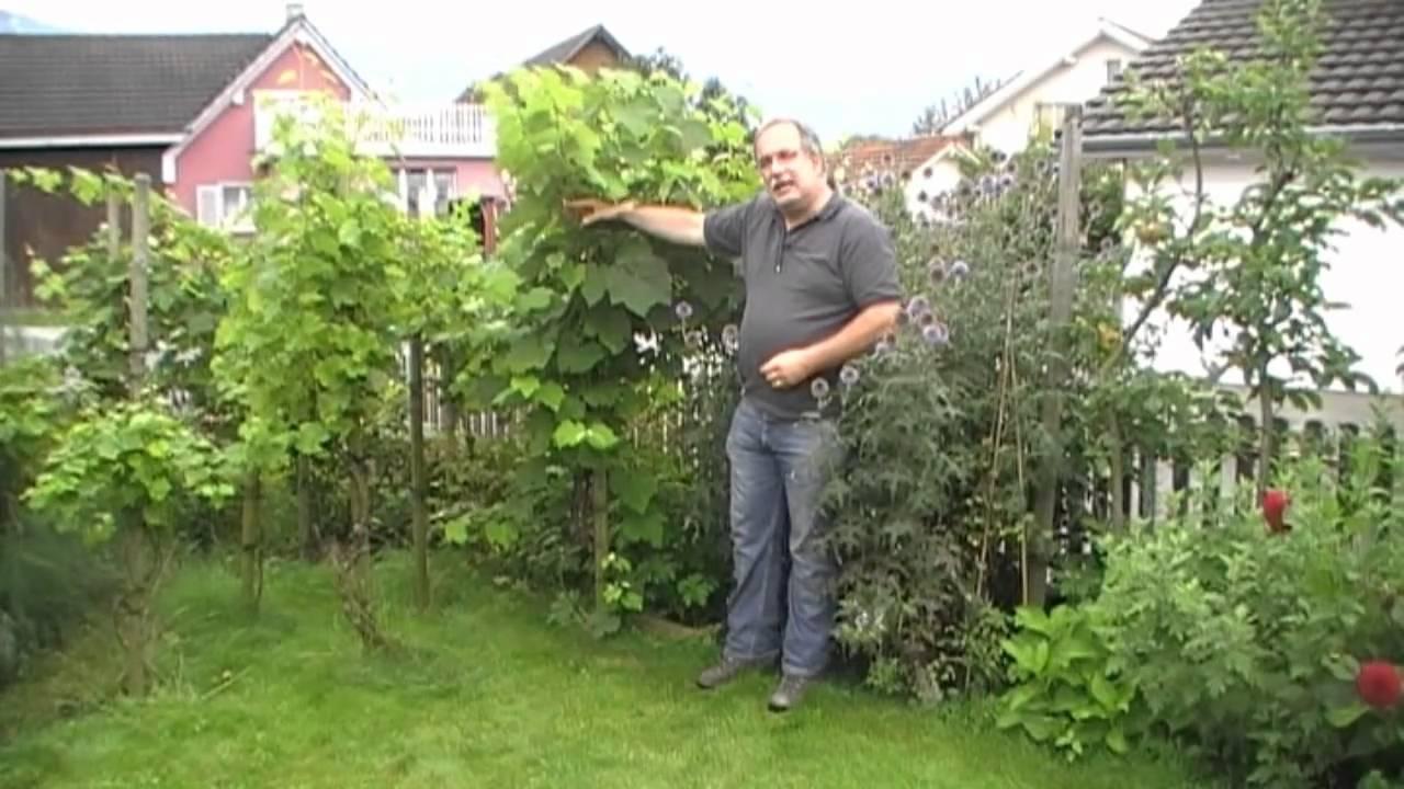 Die Einfachste Art Tafeltrauben Zu Pflanzen Youtube
