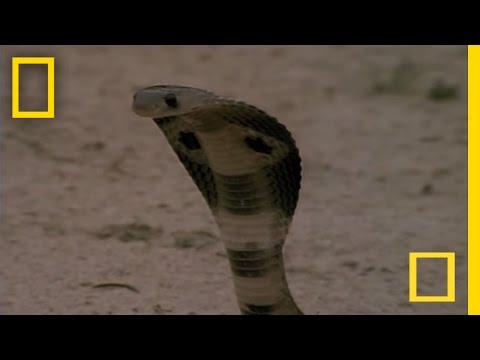cobra-vs-mongoose.html