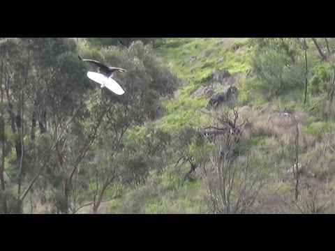 Eagle Kills Drone