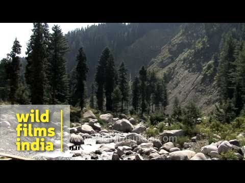 Fir And Cypress Trees Amid Middle Altitude Crags And Meadows Of Kashmir video
