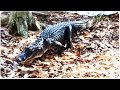 Alligator Interrupts Deer Feeding | Ultimate Creeper