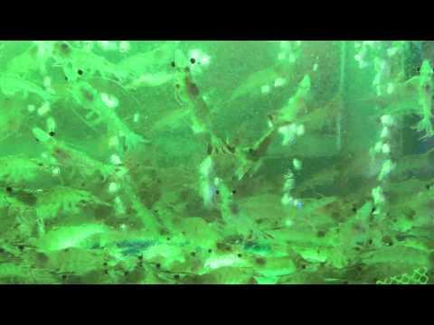 Fresh prawns in Manila seafood market