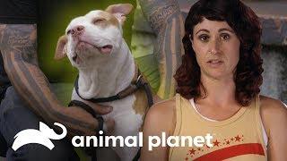 """Dueño se deshace de su perro porque se """"hizo pis"""" en su Xbox   Pit bulls y convictos   Animal Planet"""