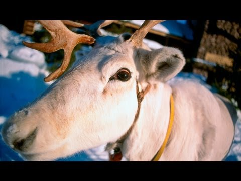 Reindeer in Lapland in Finland - tourism video about Reindeer / porot in Finnish Lapland