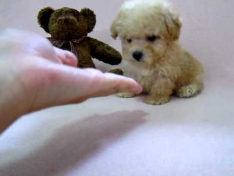 Beary : poodle tiny toy male off white color - YouTube
