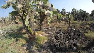 Galapagos Islands: Opuntia Cactus Forest