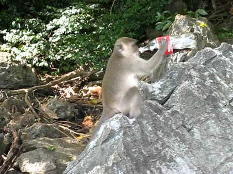 Monkey Loves Coke!! video