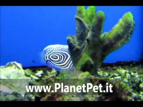 Pomacanthus Imperator – www.PlanetPet.it