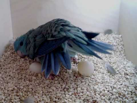 Lineolated Parakeet hen seen laying an egg