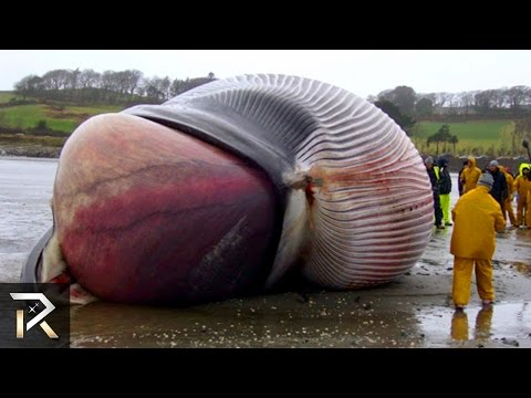 400lbs Whale Heart! (30 Facts You Won't Believe!)