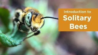 Introduction to Solitary Bees