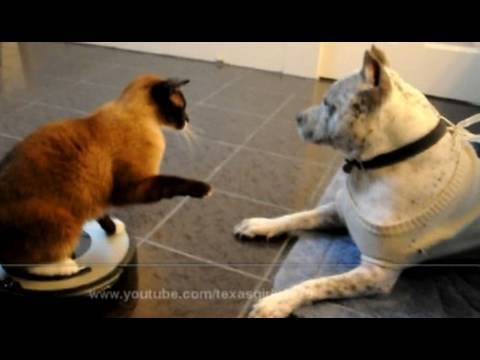 Roomba Cat swats Dog pit bull Sharky. Max-Arthur on iRobot Roomba Vacuum. Cat vs Dog. HelensPets.com