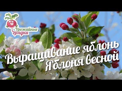 Правильная посадка яблони + народные приметы (Московская область)