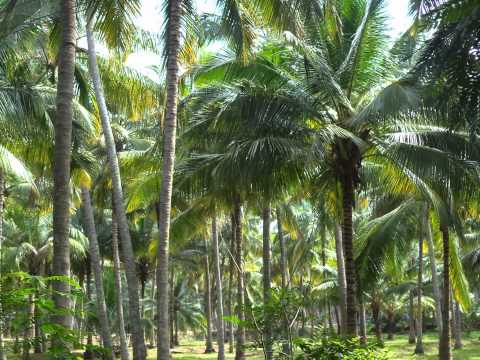 Coconuts In The Manchester Of South India-Coimbatore
