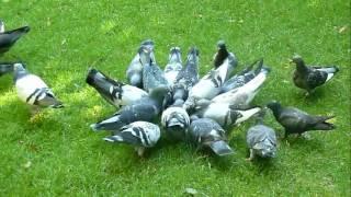 Tiếng kêu và hình ảnh con chim bồ câu sound and picture of pigeon