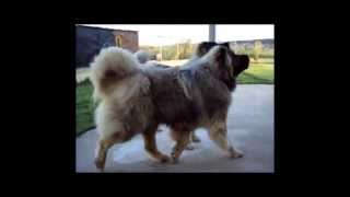 Caucasian Shepherd Dog (OUR YOUNG MALE).