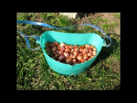 Огород без хлопот  Посадка лука в открытый грунт