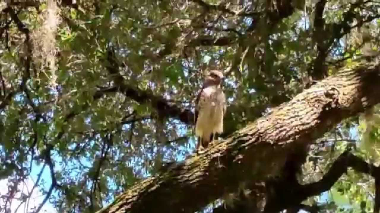 Broad-winged hawk (or juvenile red tailed hawk) - YouTube