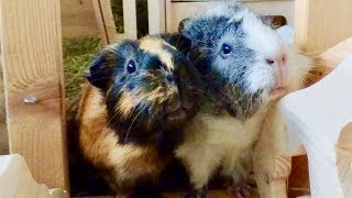 6 Awesome Facts About Guinea Pigs