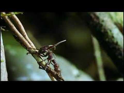 cordyceps (Parasitic Fungi)