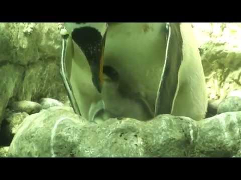 海遊館 ジェンツーペンギンのひな