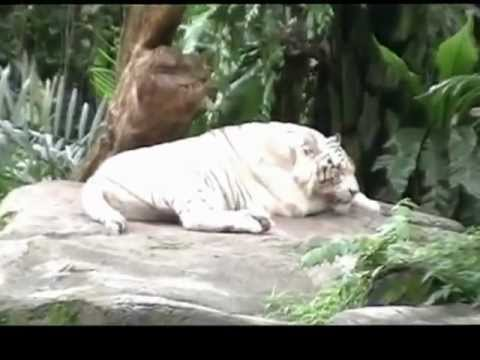 Singapore  Attack Pictures on Singapore Zoo   Videopotato Com