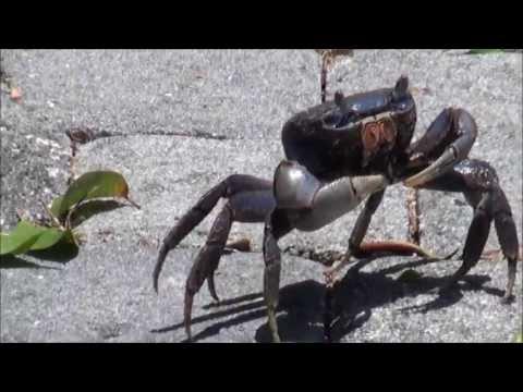 Blue Land Crab ▶ Blue Land Crab in Florida
