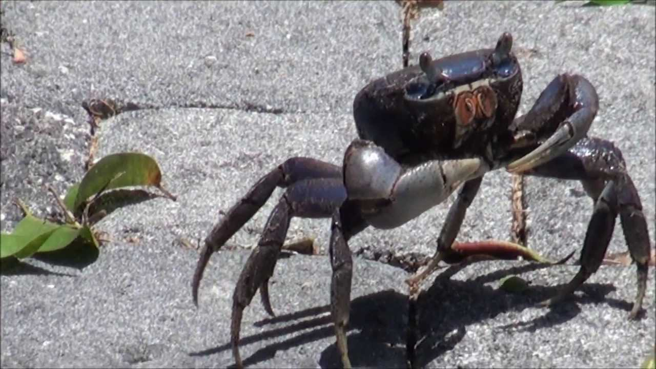 Giant Blue Land Crab Blue Land Crab in Florida in