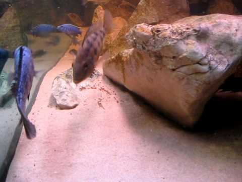My Fossorochromis Rostratus Mating Xxx video