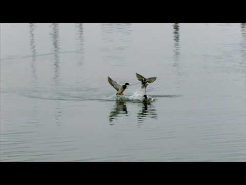 Duck fight in UltraSlo HD