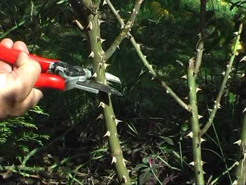 En produccion prog 6 poda de rosas parte 2 youtube - Poda de hortensias en maceta ...